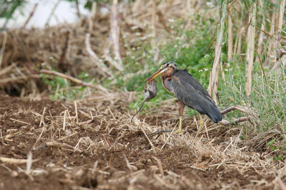 石垣島その他の鳥-1_d0013455_72724.jpg
