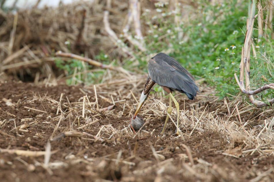 石垣島その他の鳥-1_d0013455_7273129.jpg