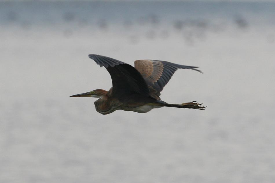 石垣島その他の鳥-1_d0013455_7275694.jpg