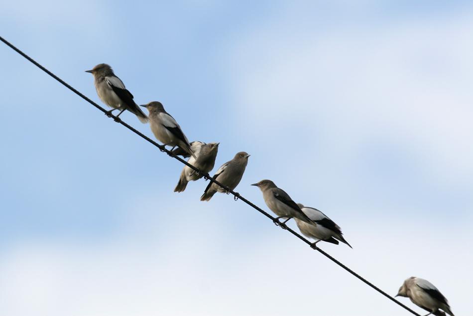 石垣島その他の鳥-2_d0013455_18523359.jpg