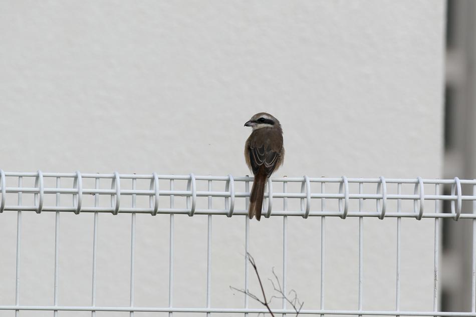 石垣島その他の鳥-2_d0013455_1859184.jpg