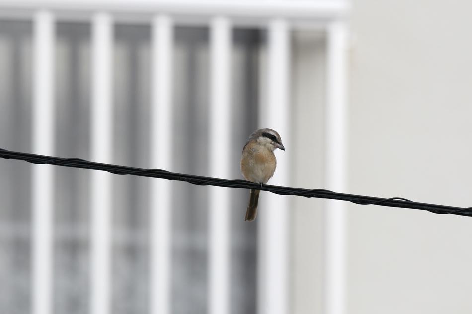 石垣島その他の鳥-2_d0013455_18593011.jpg