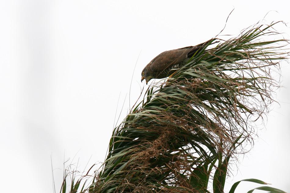 石垣島その他の鳥-2_d0013455_1931116.jpg
