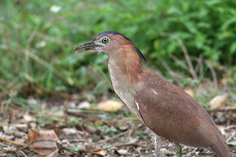 石垣島その他の鳥-2_d0013455_19322584.jpg