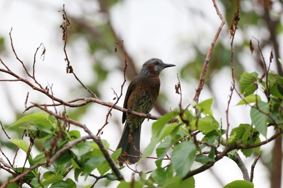 石垣島その他の鳥-2_d0013455_19334754.jpg