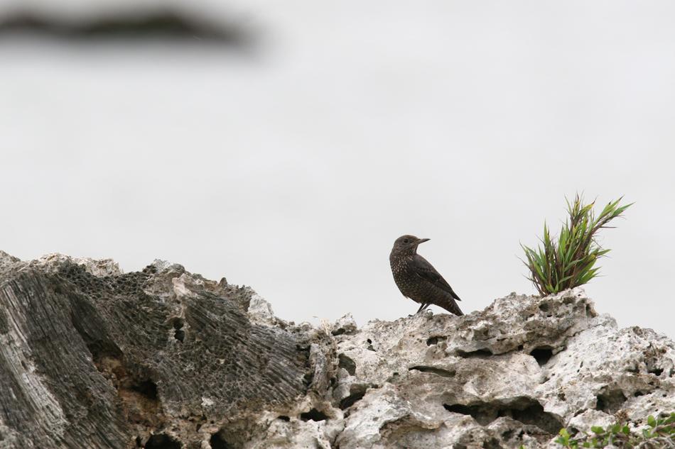 石垣島その他の鳥-2_d0013455_19342240.jpg