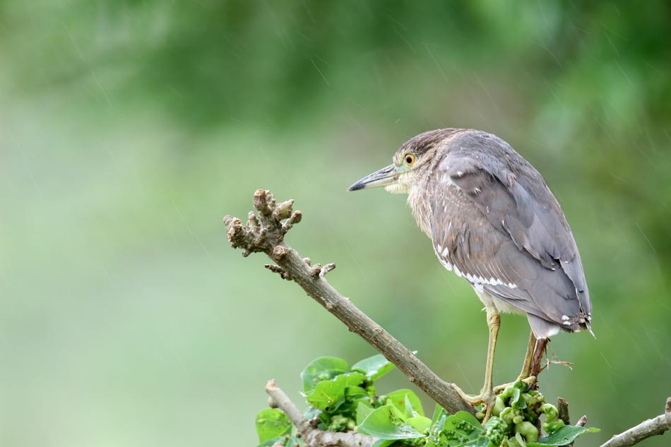 石垣島その他の鳥-2_d0013455_1971452.jpg