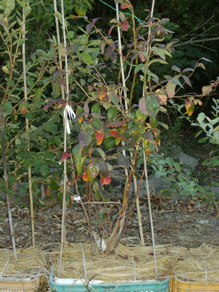 接ぎ木の方が紅葉は晩い?!とブルーベリーの効能のビデオ_f0018078_17403364.jpg