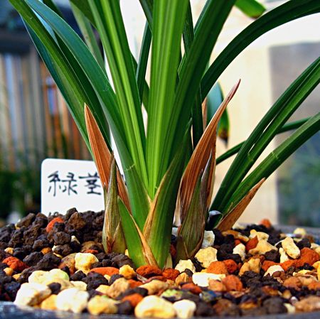 ◆中国春蘭「緑茎翠桃」,、。               No.153_d0103457_0531599.jpg