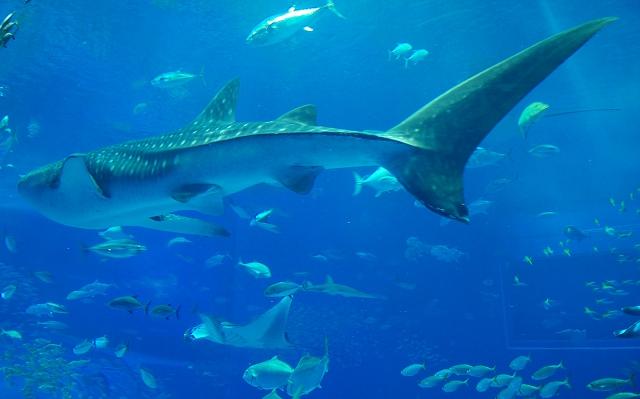 美ら海水族館・2_f0018464_18204214.jpg
