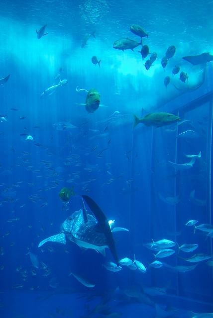 美ら海水族館・2_f0018464_18212563.jpg