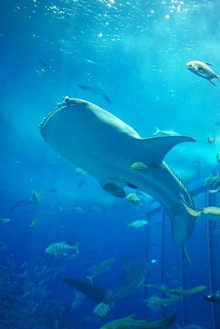 美ら海水族館・2_f0018464_18455275.jpg