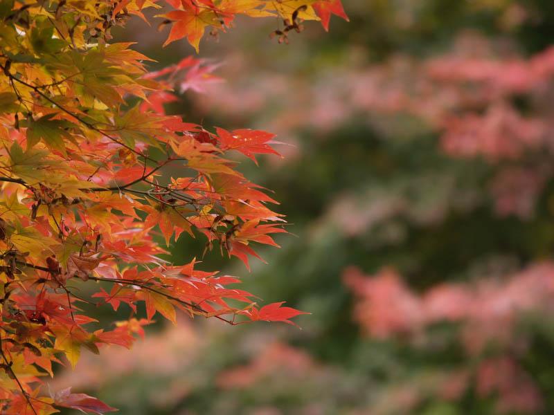 秋の海岸寺を色んなレンズで楽しみました、APO-LANTHAR 180mm 編_c0137403_19152830.jpg