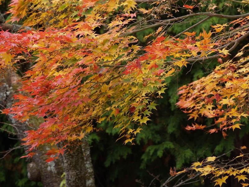 秋の海岸寺を色んなレンズで楽しみました、APO-LANTHAR 180mm 編_c0137403_19174360.jpg