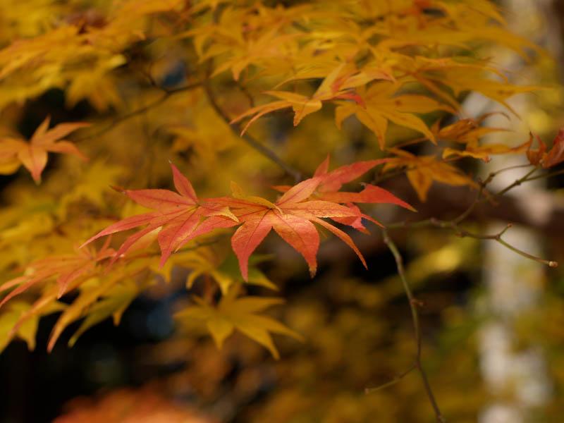 秋の海岸寺を色んなレンズで楽しみました、FA 43mmF1.9Limited編_c0137403_19421633.jpg