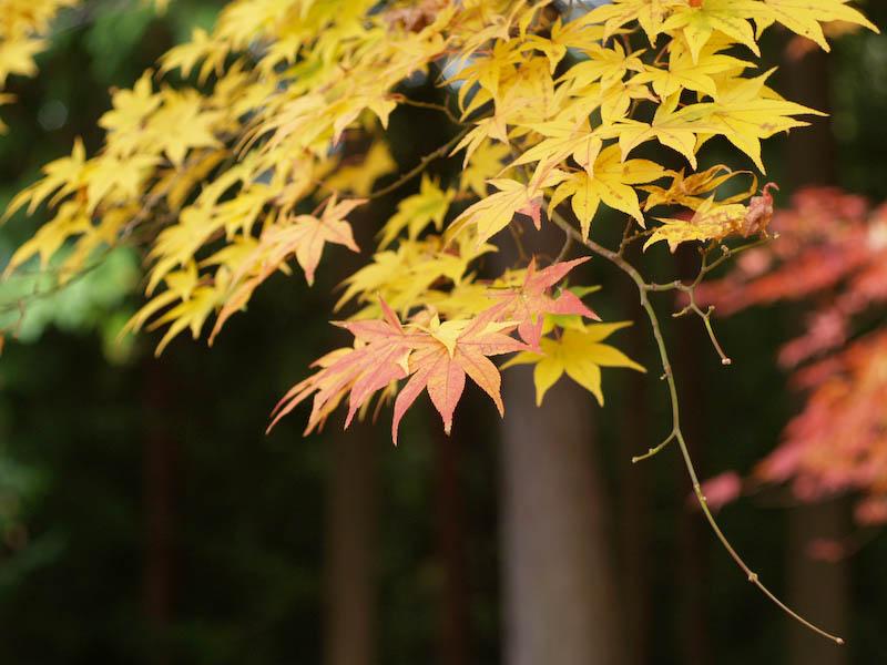 秋の海岸寺を色んなレンズで楽しみました、RIKENON 50mmF2編_c0137403_19494653.jpg