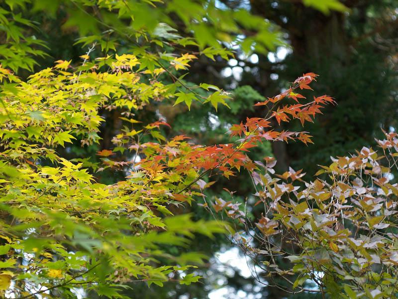 秋の海岸寺を色んなレンズで楽しみました、MD ROKKOR  50mmF1.4編_c0137403_20573272.jpg