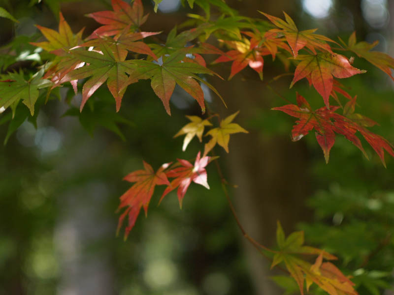 秋の海岸寺を色んなレンズで楽しみました、MD ROKKOR  50mmF1.4編_c0137403_20575051.jpg