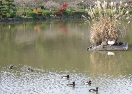 11月17日池のカモ