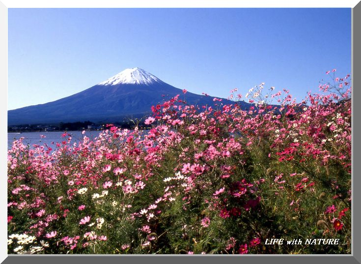 富士と秋桜_b0093088_7351837.jpg