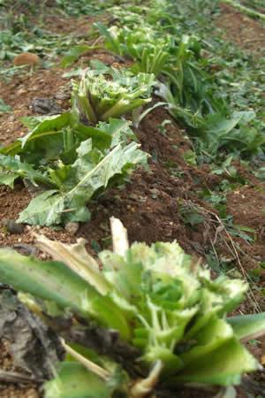地元中津川市で「ちこり芋」の収穫開始_d0063218_20212672.jpg