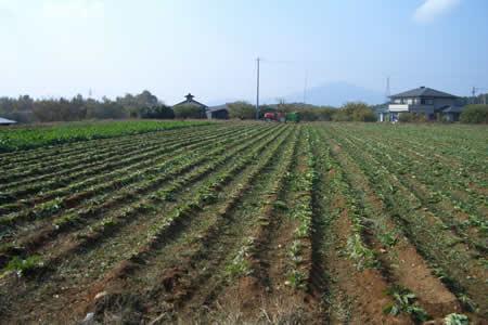 地元中津川市で「ちこり芋」の収穫開始_d0063218_20245251.jpg