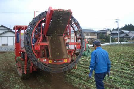 地元中津川市で「ちこり芋」の収穫開始_d0063218_20265869.jpg