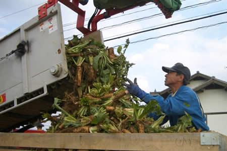 地元中津川市で「ちこり芋」の収穫開始_d0063218_2028098.jpg