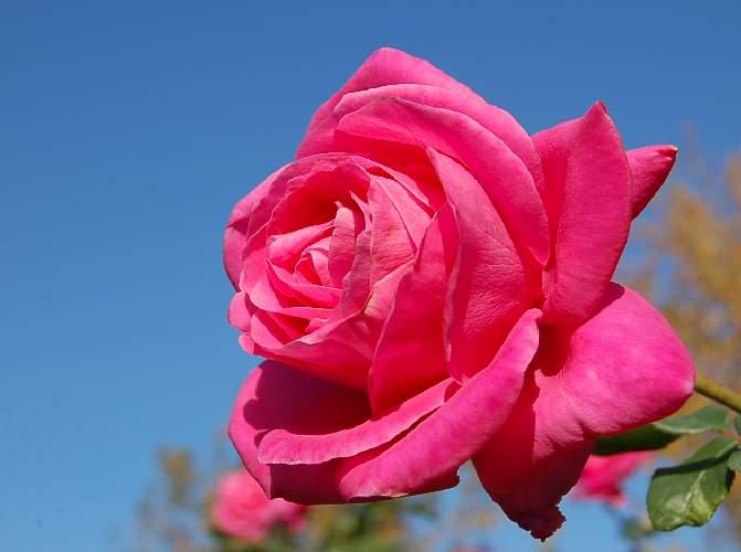 薔薇(ペーター・フランケンフェルト)_b0017645_19215373.jpg