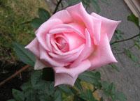 秋のバラたち_a0094959_13312782.jpg