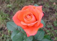 秋のバラたち_a0094959_1334496.jpg