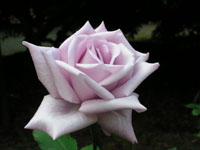秋のバラたち_a0094959_13353189.jpg