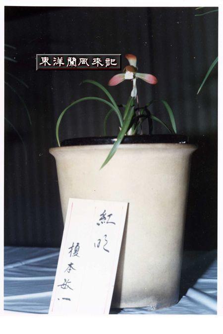 ◆日本春蘭「紅明・日本初登場時の写真」,、。    No.157_d0103457_12417.jpg