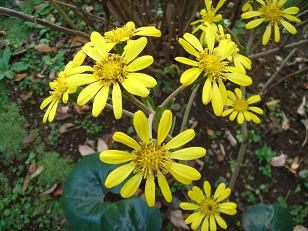 ツワブキのお花です。_b0049307_20212560.jpg
