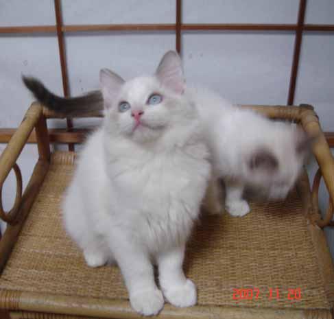 ラグドール 子猫 _e0033609_17341359.jpg