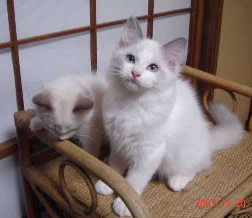 ラグドール 子猫 _e0033609_1734378.jpg