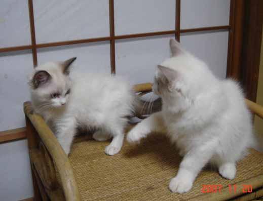 ラグドール 子猫 _e0033609_17344982.jpg