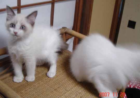 ラグドール 子猫 _e0033609_17351297.jpg