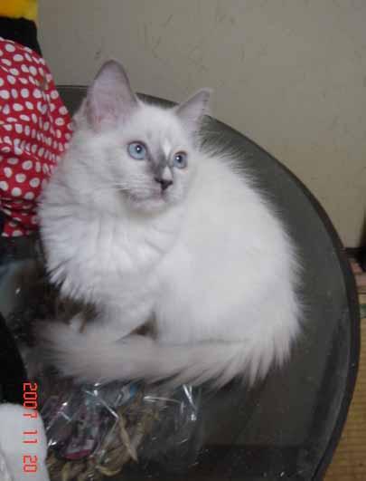 ラグドール 子猫 _e0033609_17371521.jpg