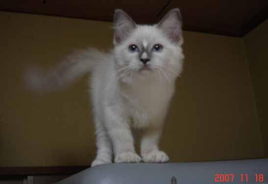 ラグドール 子猫 _e0033609_1737247.jpg