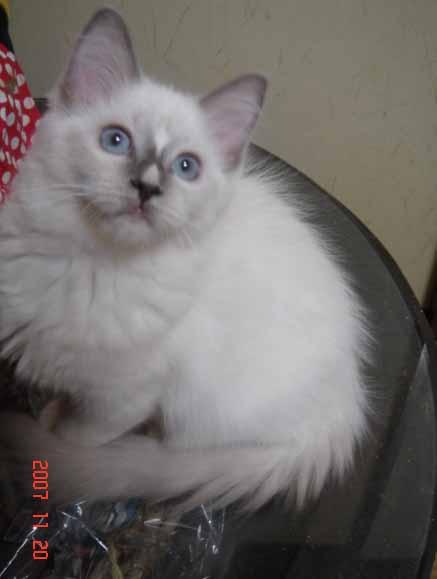 ラグドール 子猫 _e0033609_17373350.jpg
