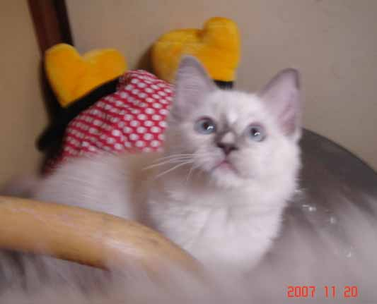 ラグドール 子猫 _e0033609_17374247.jpg