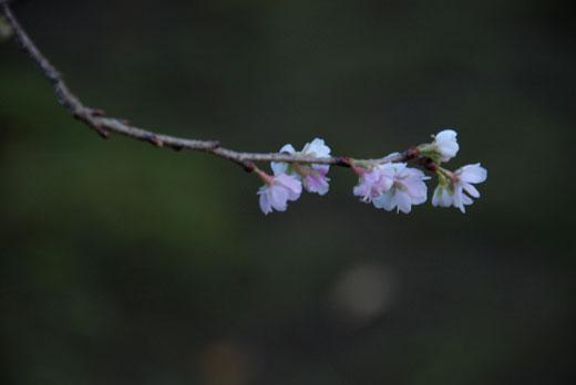 冬桜_c0093046_6491761.jpg