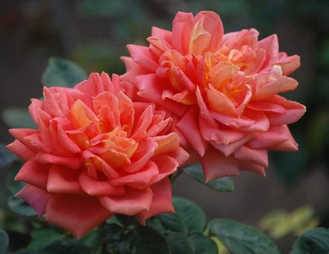 薔薇(チガーヌ)_b0017645_22182787.jpg