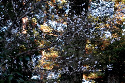 冬桜_c0093046_22353167.jpg