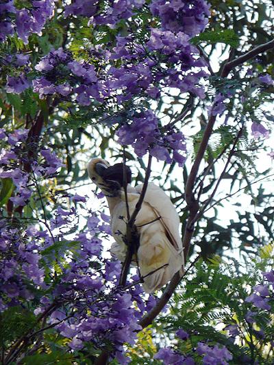 ジャカランダの花盛り_d0081851_2102622.jpg