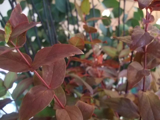 オークリーフ(鉢のカラー)_f0049672_15401280.jpg