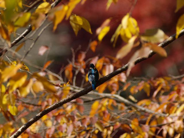 紅葉と鳥・・・_b0021375_15522426.jpg