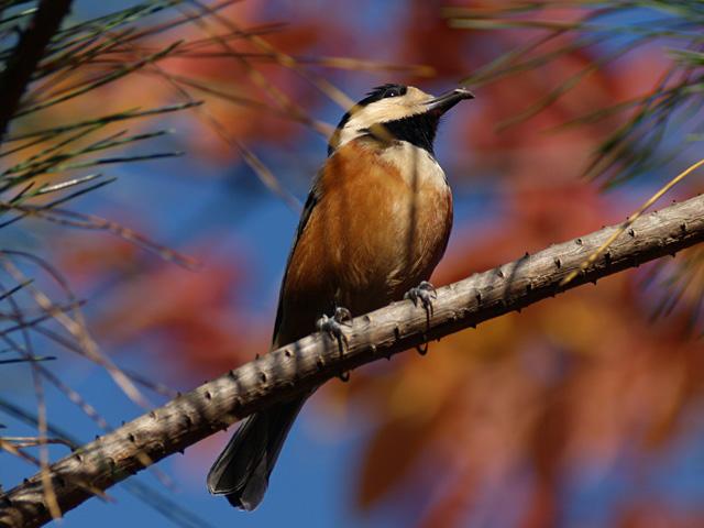 紅葉と鳥・・・_b0021375_15564687.jpg