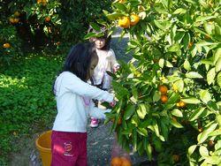 みかん収穫&ジュースづくり体験_e0081959_17505562.jpg